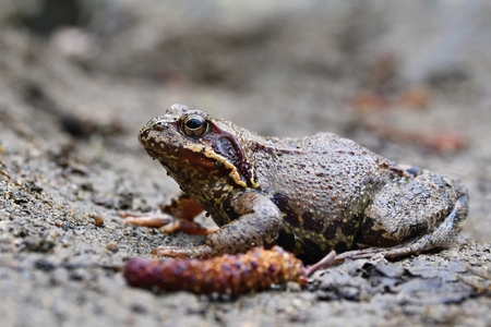 wart: Common toad Stock Photo