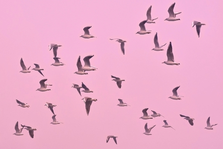 chroicocephalus: A flock of seagulls amidst a beautiful pastel pink sky
