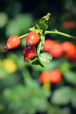 rose bush: Rose bush with berries