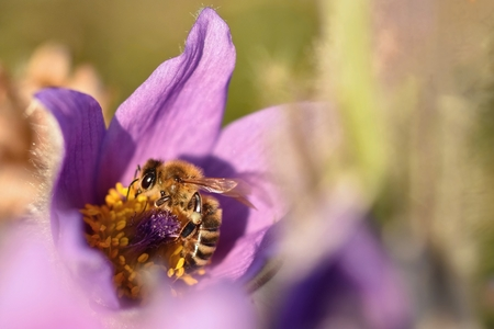 pasqueflower: Bee on a pasque-flower Stock Photo