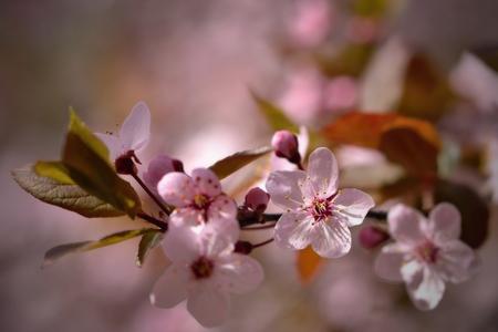blossoming: Beautiful blossoming Japanese cherry sakura