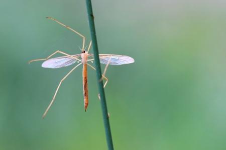 crane fly: Crane fly