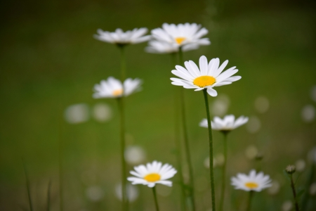 large: Large daisies Stock Photo