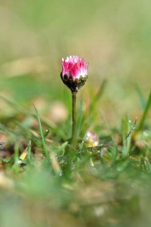 dewy: Daisy flower in the morning dewy grass