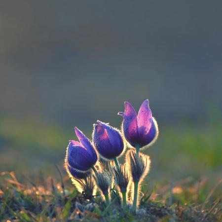 pulsatilla: Blooming purple pasque-flowers at sunset