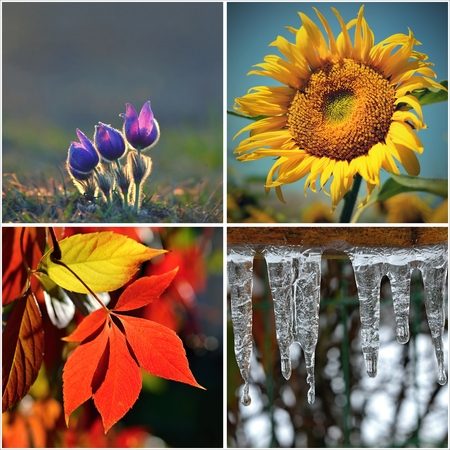 blossoming yellow flower tree: Four seasons collage: Spring, summer, autumn, winter Stock Photo