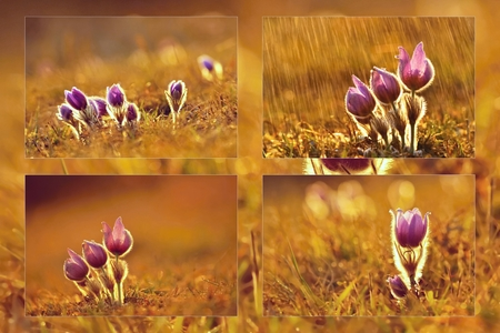 blooming purple: Blooming purple pasque-flowers at sunset