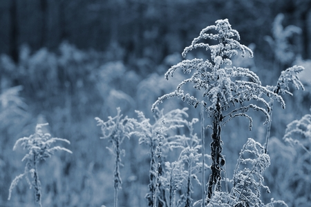 freeze dried: Plants with frost