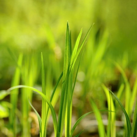 blades of grass: Blades of grass Stock Photo