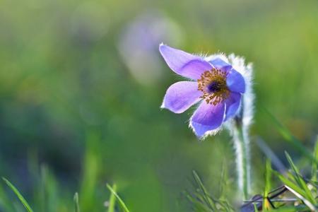 pulsatilla: Beautiful purple little furry pasque-flower. (Pulsatilla grandis) Blooming on spring meadow at the sunset. Stock Photo