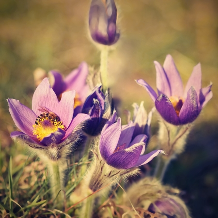 pasqueflower: Beautiful purple little furry pasque-flower. (Pulsatilla grandis) Blooming on spring meadow at the sunset. Stock Photo