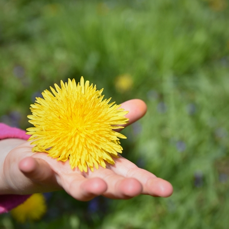 child's: Childs hand with dandelion