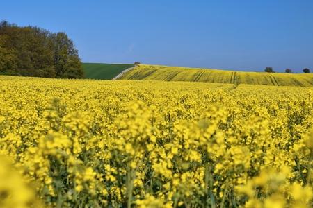 brassica: Field with rape (Brassica napus) (Brassica napus) Stock Photo