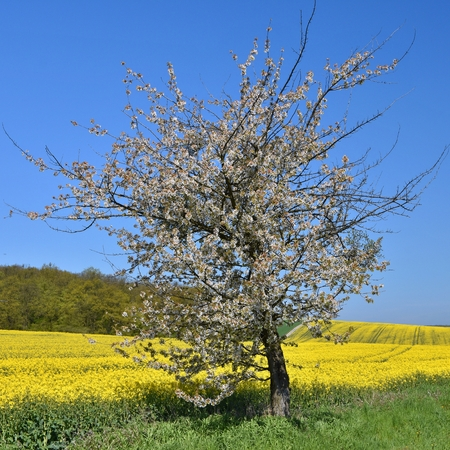 rappi: Beautiful blooming fruit tree branch. Yellow flowering fields, ground road and beautiful valley, nature spring landscape.  (Brassica napus) (Brassica napus)
