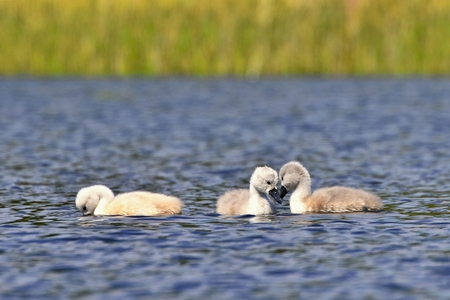 ugly duckling: Beautiful swan cubs at the pond.