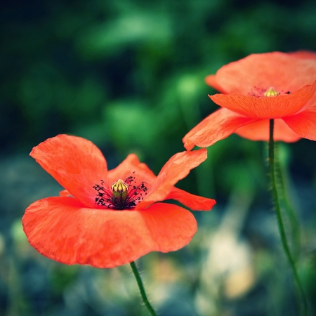 papaver rhoeas: Beautiful blooming poppies close up. (Papaver rhoeas)
