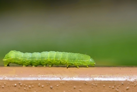 Beautiful small green caterpillar. Macro shot of insects.Nature.