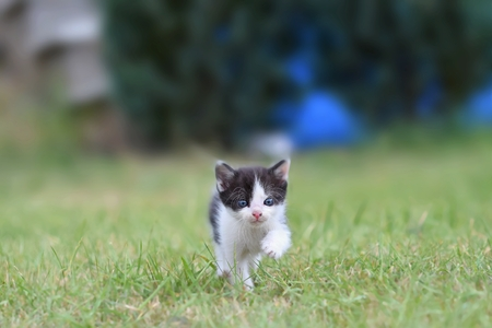 Beautiful small kitten with blue eyes. Playing at home.