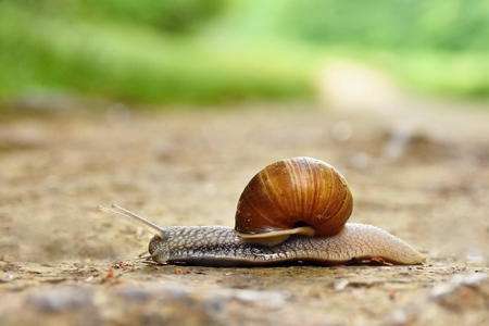 edible snail: Beautiful snail crawling across the road in the countryside. Natural colored blurred background.