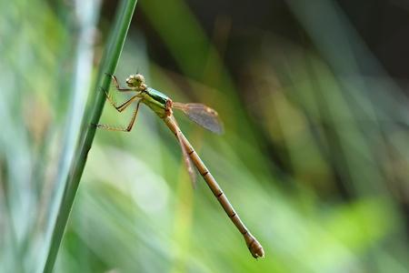 libellula: Beautiful dragonfly. Macro shot of nature. Libellula depressa. Insects up close. Stock Photo