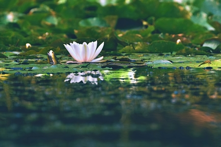 nymphaea: Beautiful blooming flower - white water lily on a pond. (Nymphaea alba) Natural colored blurred background.  Nature Stock Photo