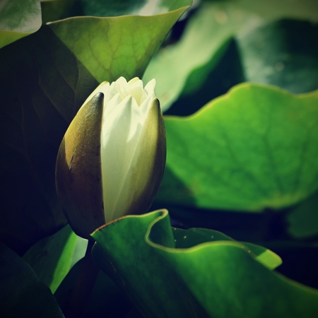 Beautiful blooming flower - white water lily on a pond. (Nymphaea alba) Natural colored blurred background.  Nature Stock Photo
