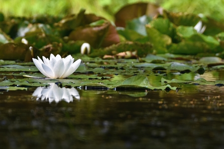 Beautiful blooming flower - white water lily on a pond. (Nymphaea alba) Natural colored blurred background.