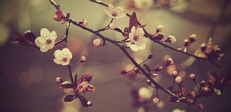 day flowering: Beautiful flowering Japanese cherry - Sakura. Background with flowers on a spring day.