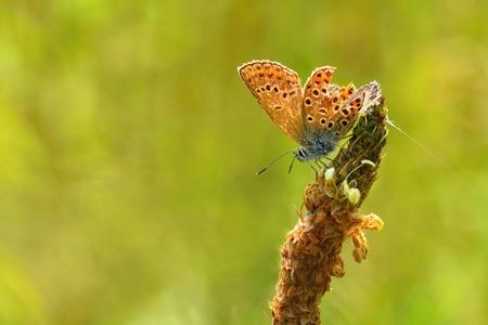 polyommatus icarus: Beautiful little butterfly Common Blue (Polyommatus icarus). Macro shot of nature close up. Stock Photo