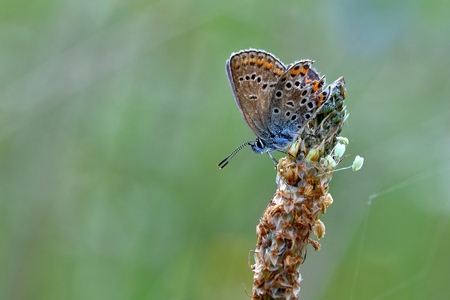 Beautiful little butterfly Common Blue (Polyommatus icarus). Macro shot of nature close up. Stock Photo