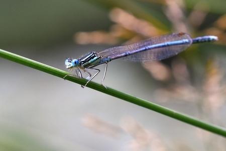libellula: Beautiful dragonfly. Macro shot of nature. Libellula depressa. Insects close up.