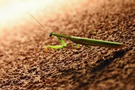 raptorial: Giant Asian Praying Mantis (Hierodula membranacea) Stock Photo