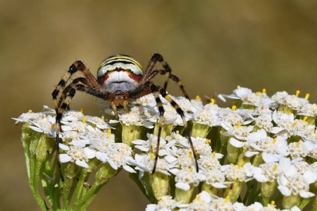 bruennichi: Beautiful macro shot of a spider on a flower in the wild.  (Argiope bruennichi) Stock Photo