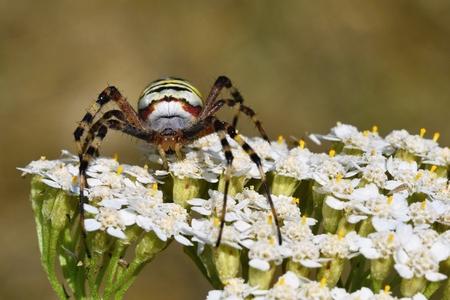 Beautiful macro shot of a spider on a flower in the wild.  (Argiope bruennichi) Stock Photo