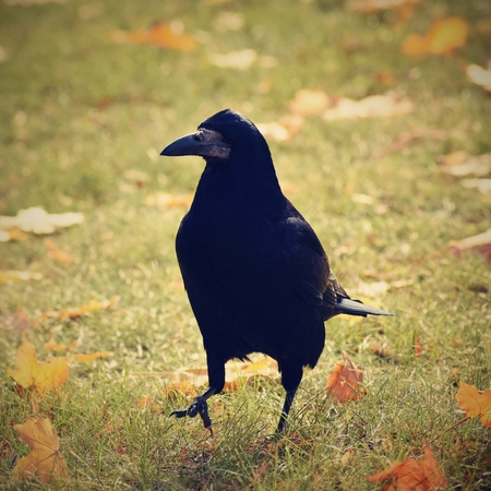 corvus: Beautiful picture of a bird - raven  crow in autumn nature.  (Corvus frugilegus) Stock Photo