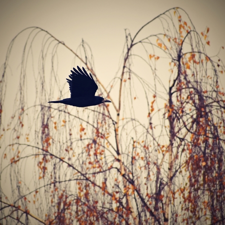 corax: Beautiful picture of a bird - raven  crow in autumn nature.  (Corvus frugilegus) Stock Photo