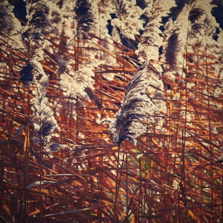 common reed: Common reed. Beautiful natural background with the sun. (Phragmites australis) Stock Photo