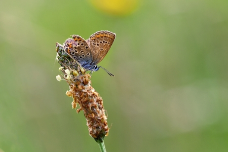 icarus: Beautiful little butterfly Common Blue (Polyommatus icarus). Macro shot of nature close up. Stock Photo