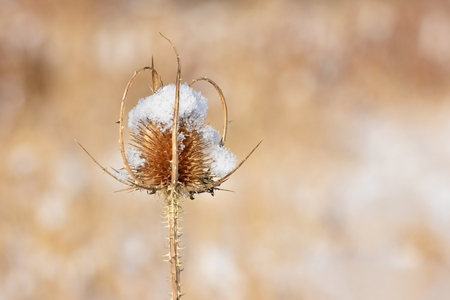 Frozen thistle covered with snow