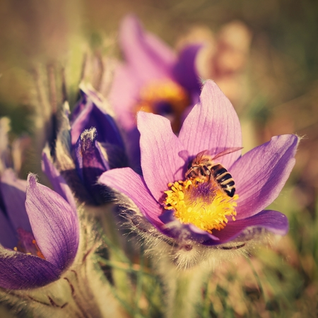 pasque: Spring flowers. Beautifully blossoming pasque flower and sun with a natural colored background. (Pulsatilla grandis) Stock Photo