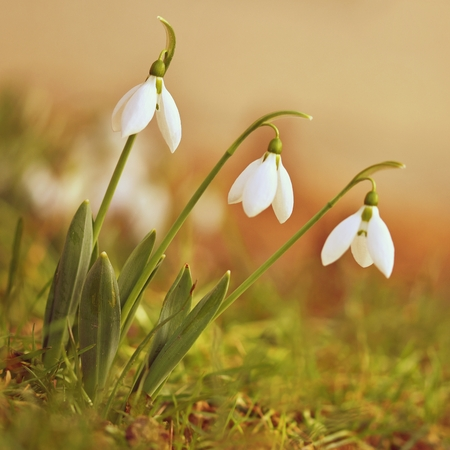 Spring flowers - snowdrops. Beautifully blooming in the grass at sunset. Amaryllidaceae - Galanthus nivalis