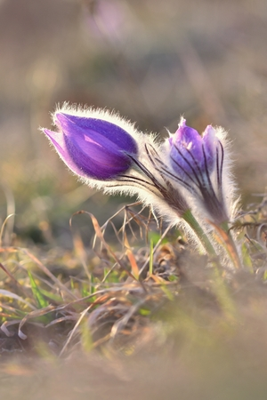 Spring flowers. Beautifully blossoming pasque flower and sun with a natural colored background. (Pulsatilla grandis) Stock Photo