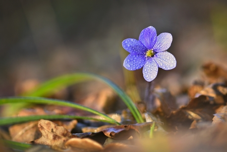 liverwort: Spring flower. Beautiful blooming first small flowers in the forest. Hepatica. (Hepatica nobilis)