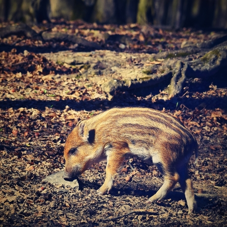 omnivores: Animal - wild boar in the wild.