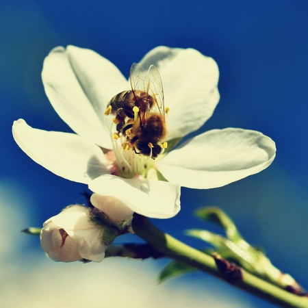 Spring background. Beautifully blossoming tree with bee. Flower in nature.