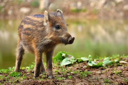 Animal - wild boar in the wild. Young bears playing in nature. (Sus scrofa)