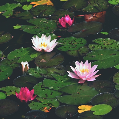 Flower. Beautiful blooming water lily on the water surface. Natural colorful blurred background. (Nymphaea)