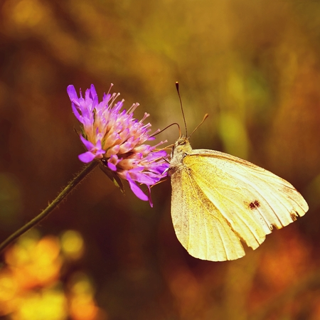 Beautiful butterfly on flower. Natural colorful background. (Pieris brassicae)