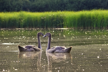 Beautiful swan cubs at the pond. Beautiful natural colored background with wild animals.