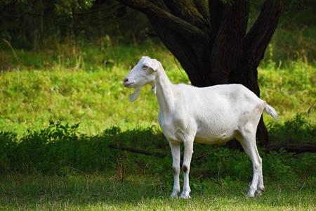 Beautiful white goat on pasture